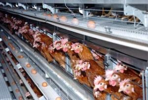 Caged egg production